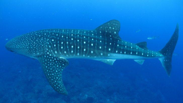 ジンベイザメの大きさ